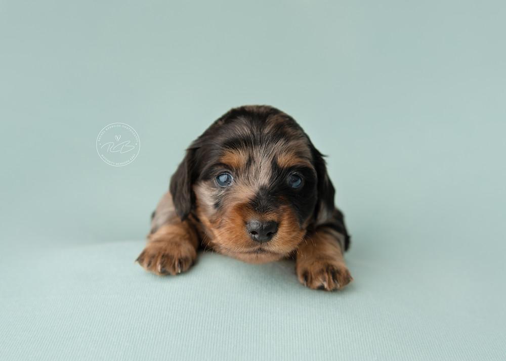 Awake Dachshund puppy posing for newborn photo shoot