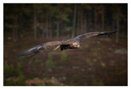 PDI: 'Golden Eagle Glide' by Nigel Snell - Bangor & North Down Camera Club
