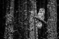 MONO: 'Great Grey' by Nigel Snell - Bangor & North Down Camera Club
