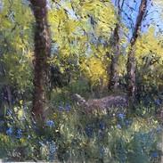 Bluebells in Kilarney Woods