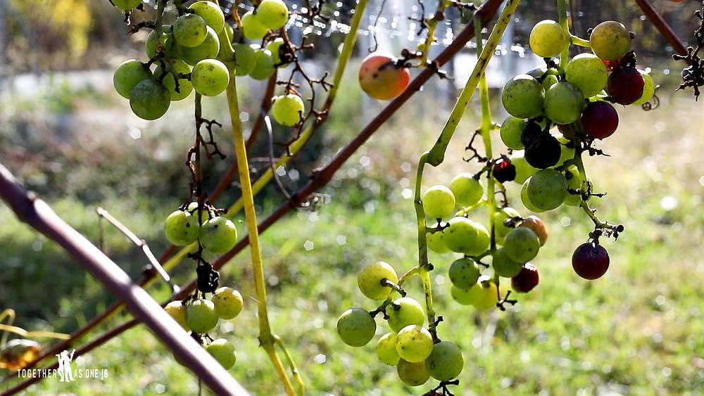 green grapes in sunlight at local cincinnati farm