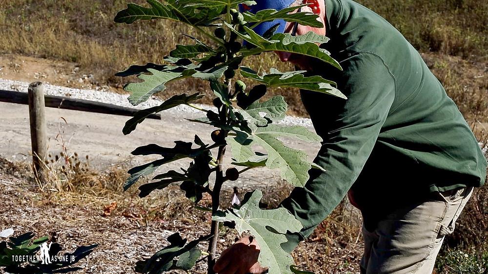 farmer picking figs at local Cincinnati farm