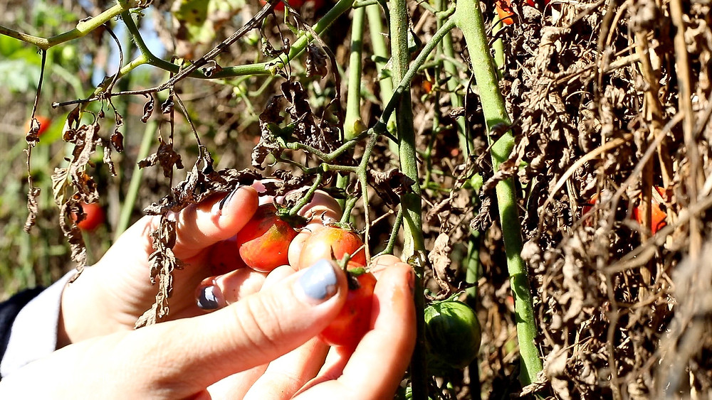 close up of hand picking cherry tomatoes at cincinnati local farm
