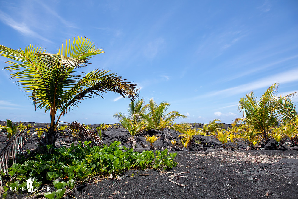 Coconut trees planted at the New Black Sand Beach in Big Island Hawaii