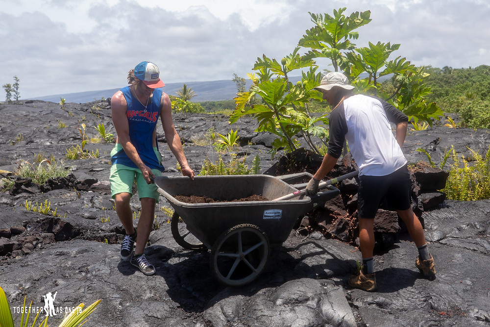 Volunteers from The Center for Getting Things Started working on placing mulch on coconut trees at the New Black Beach in Big Island Hawaii