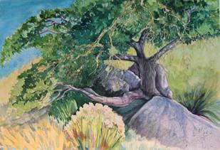 Oracle oaks