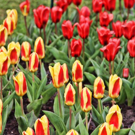 Tulip Flower Heaven in Lisse