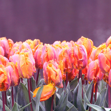 12 Facts about Keukenhof Garden and its Tulips