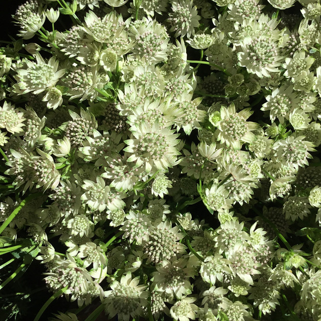 Flower Party Astrantia