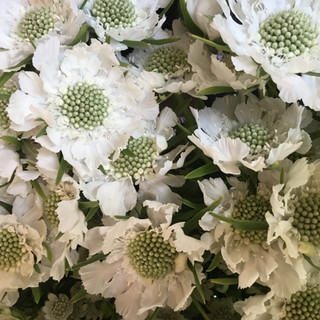 Flower Party Scabious