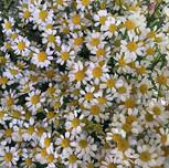 Flower Party Feverfew