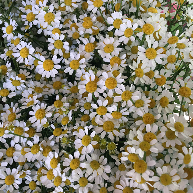 Flower Party Feverfew