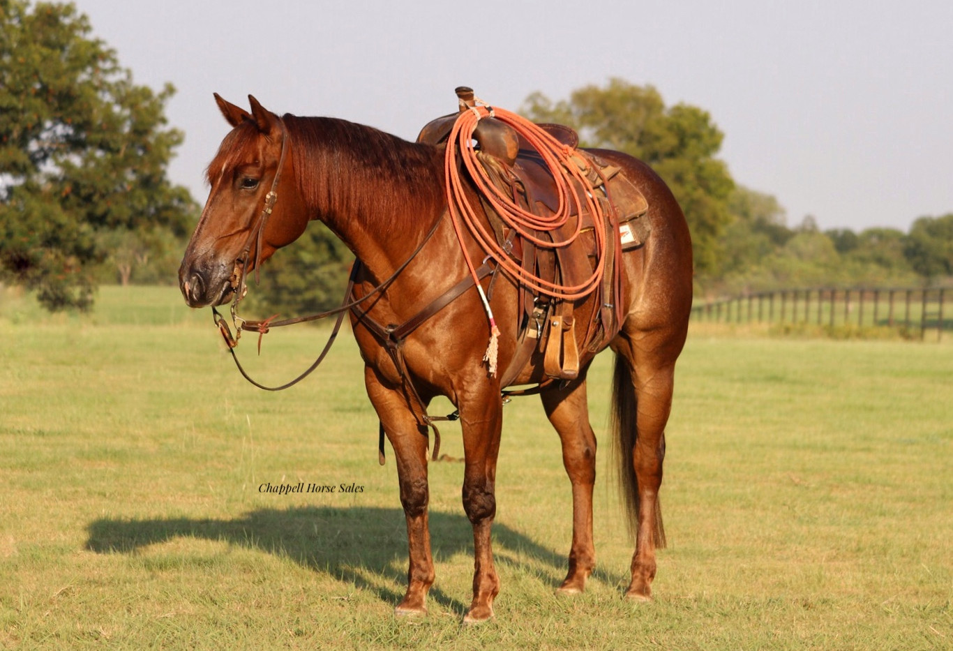 metallic cat gelding