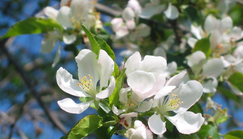 Holz-Apfel