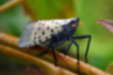 Spotted-Lanternfly-Adult.jpg