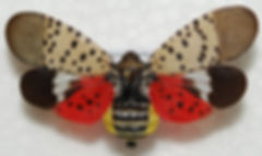 Spotted+Lanternfly+adult.jpg