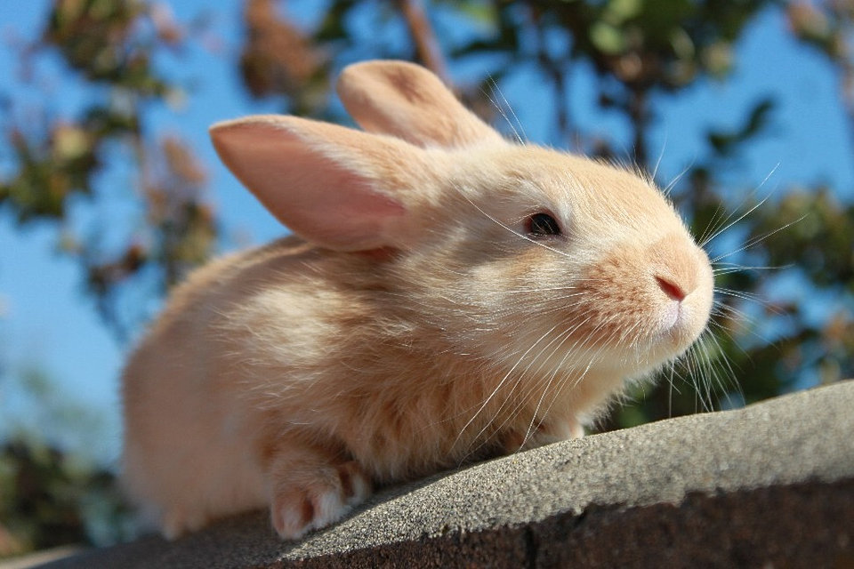 Baby Flemish Giant Rabbit