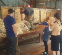 Sheep shearing tour Akaroa chauffeurnz.com