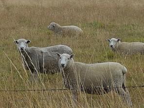 Sheep Christchurch.jpg