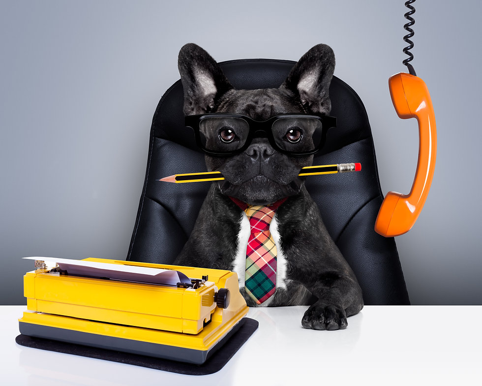 boss french bulldog dog    sitting on leather chair and desk as secretary or office worker