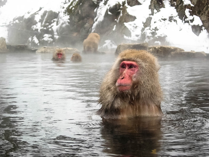 The Snow Monkeys are a short Day Trip from Myoko Vista