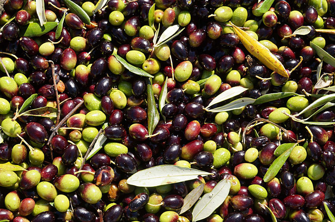 ORGANIC OLIVE OIL PRODUCTION 2015