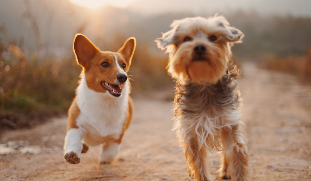 Two small dogs running side by side towards the camera.