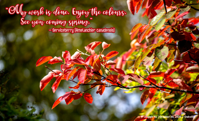 201020 Falll Amelanchier and quote.jpg