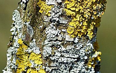 Biosurveillance par les lichens