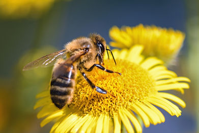 Biosurveillance par l'abeille