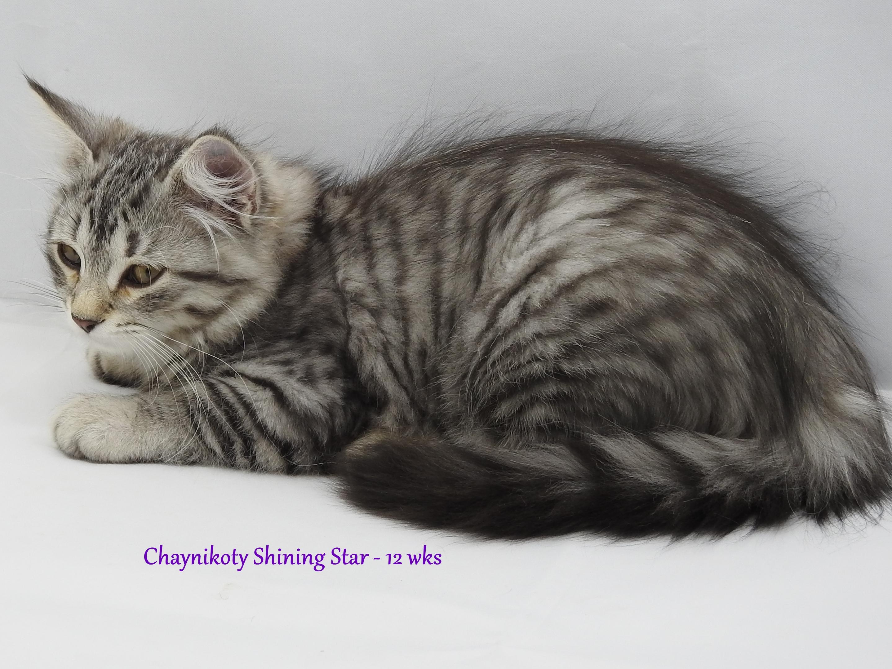Chaynikoty Shining Star - 12 wks