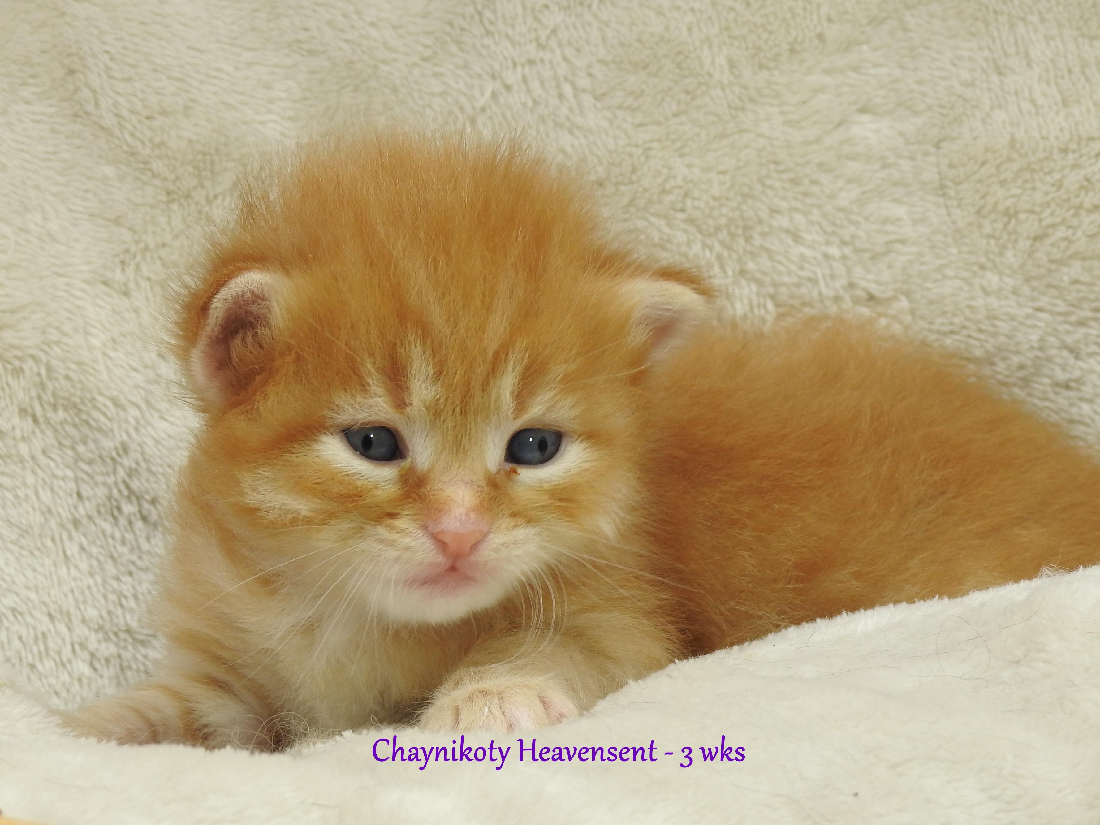 Chaynikoty Heavensent - 3 wks