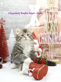 Chaynikoty Bonfire Heart - 8 wks