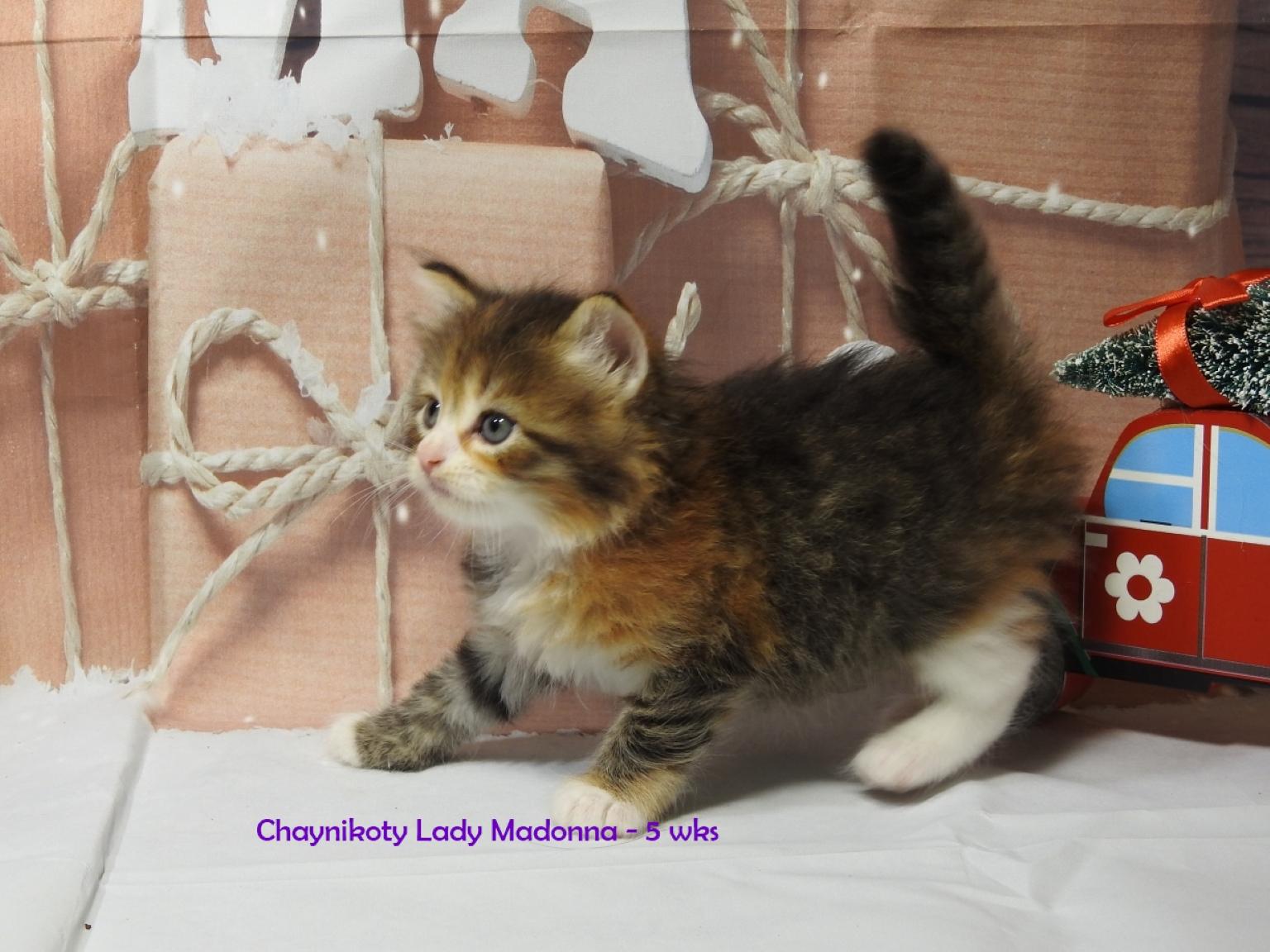 Chaynikoty Lady Madonna