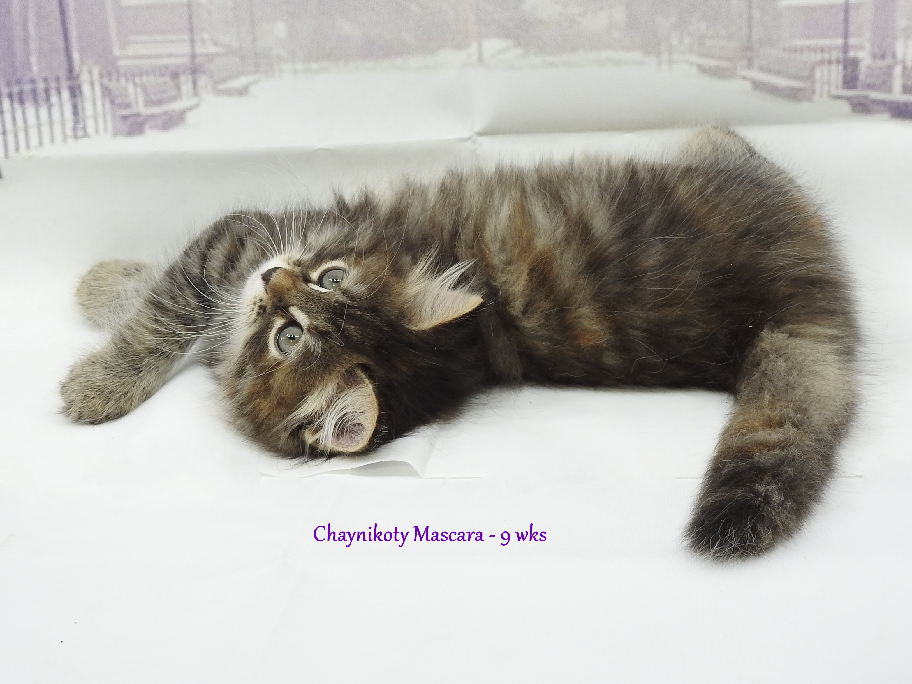 Chaynikoty Mascara - 9wks