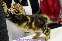 Prideshill IC Diamond Skye - 12 weeks