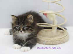 Chaynikoty Stay The Night - 5 wks