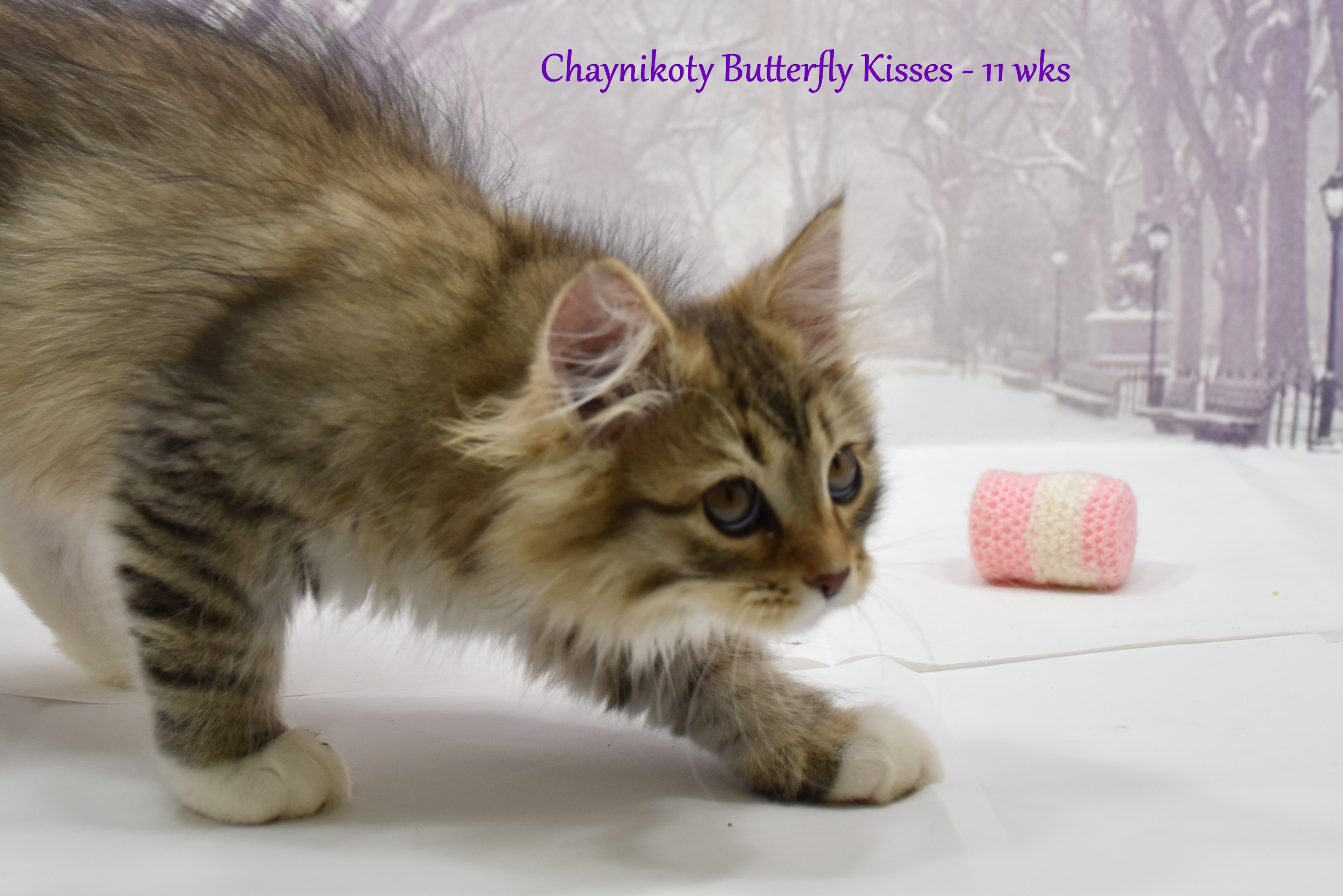 Chaynikoty Butterfly Kisses
