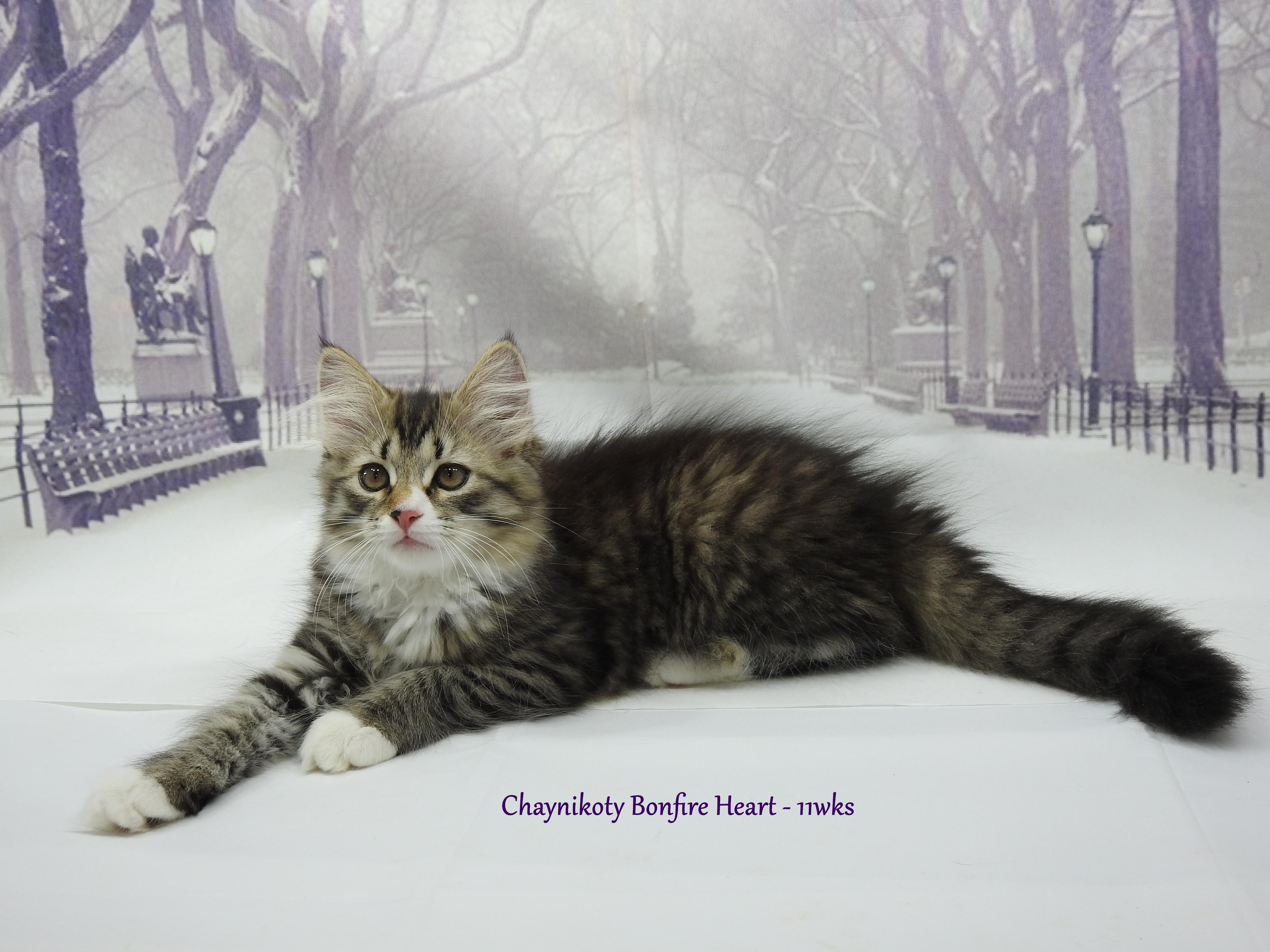 Chaynikoty Bonfire Heart - 11wks