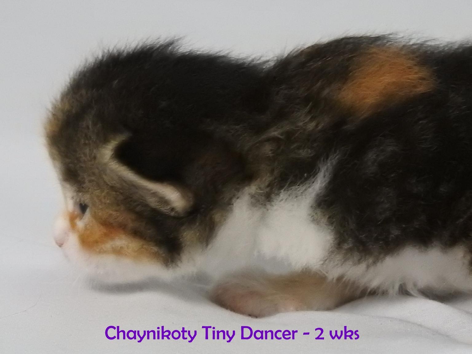 Chaynikoty Tiny Dancer