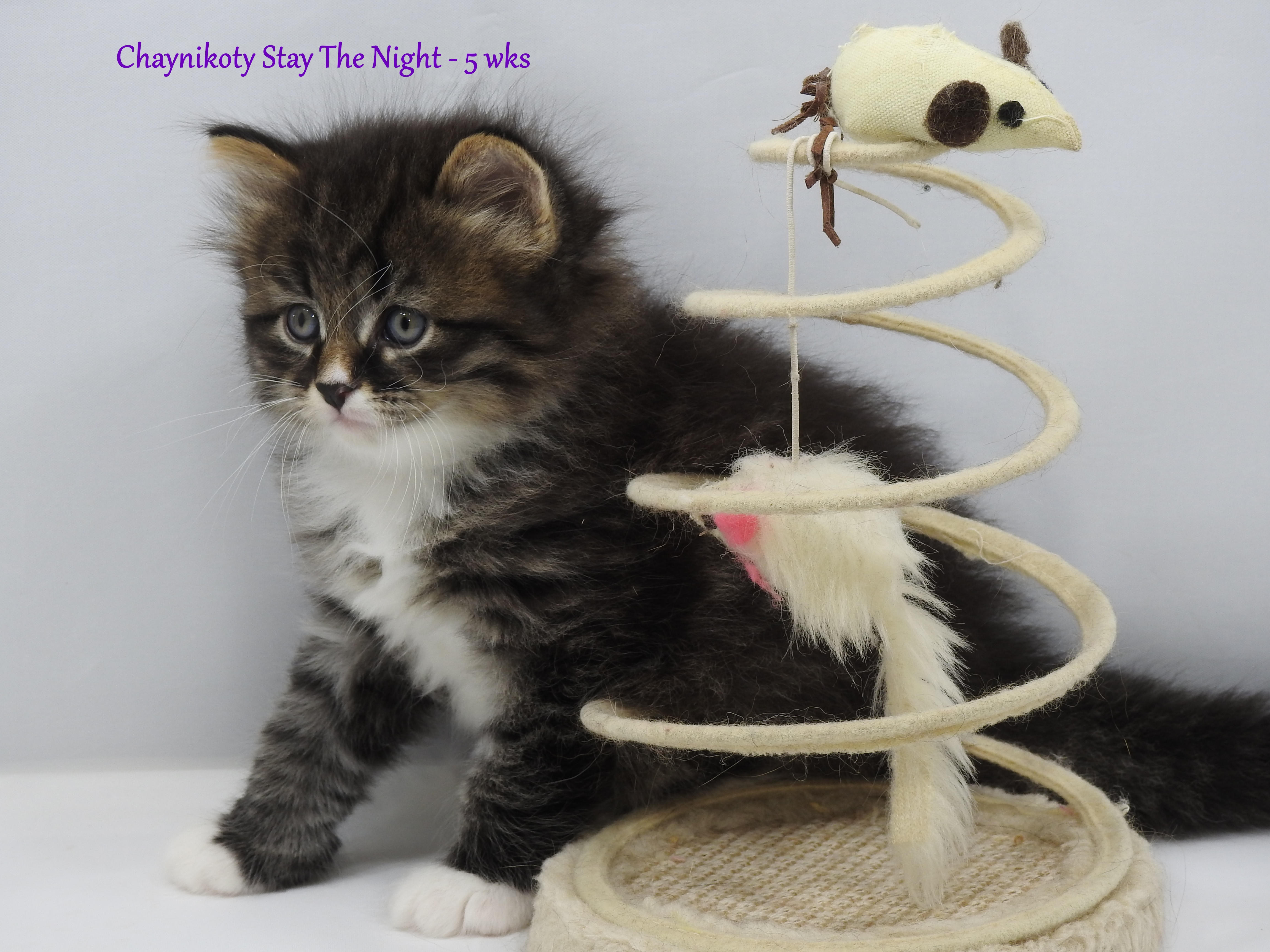 Chaynikoty Stay The Night - 5 wks