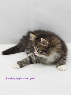 Chaynikoty Bonfire Heart - 5 wks