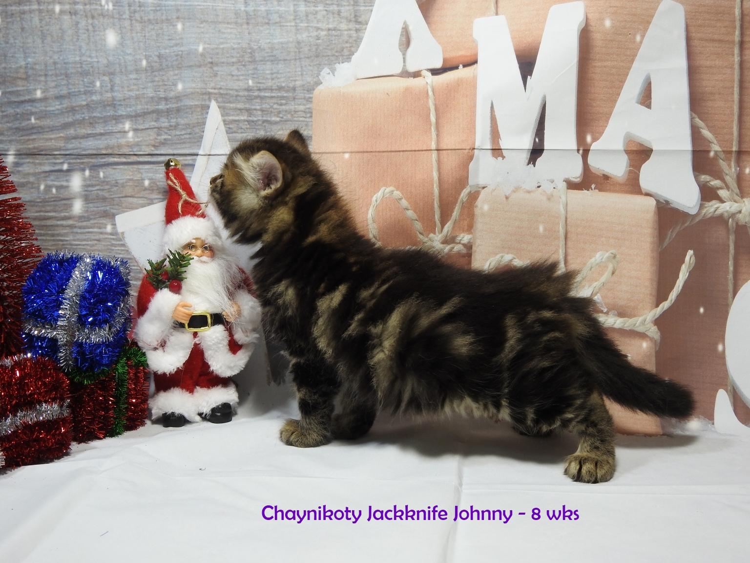 Chaynikot Jackknife Johnny - 8 wks12