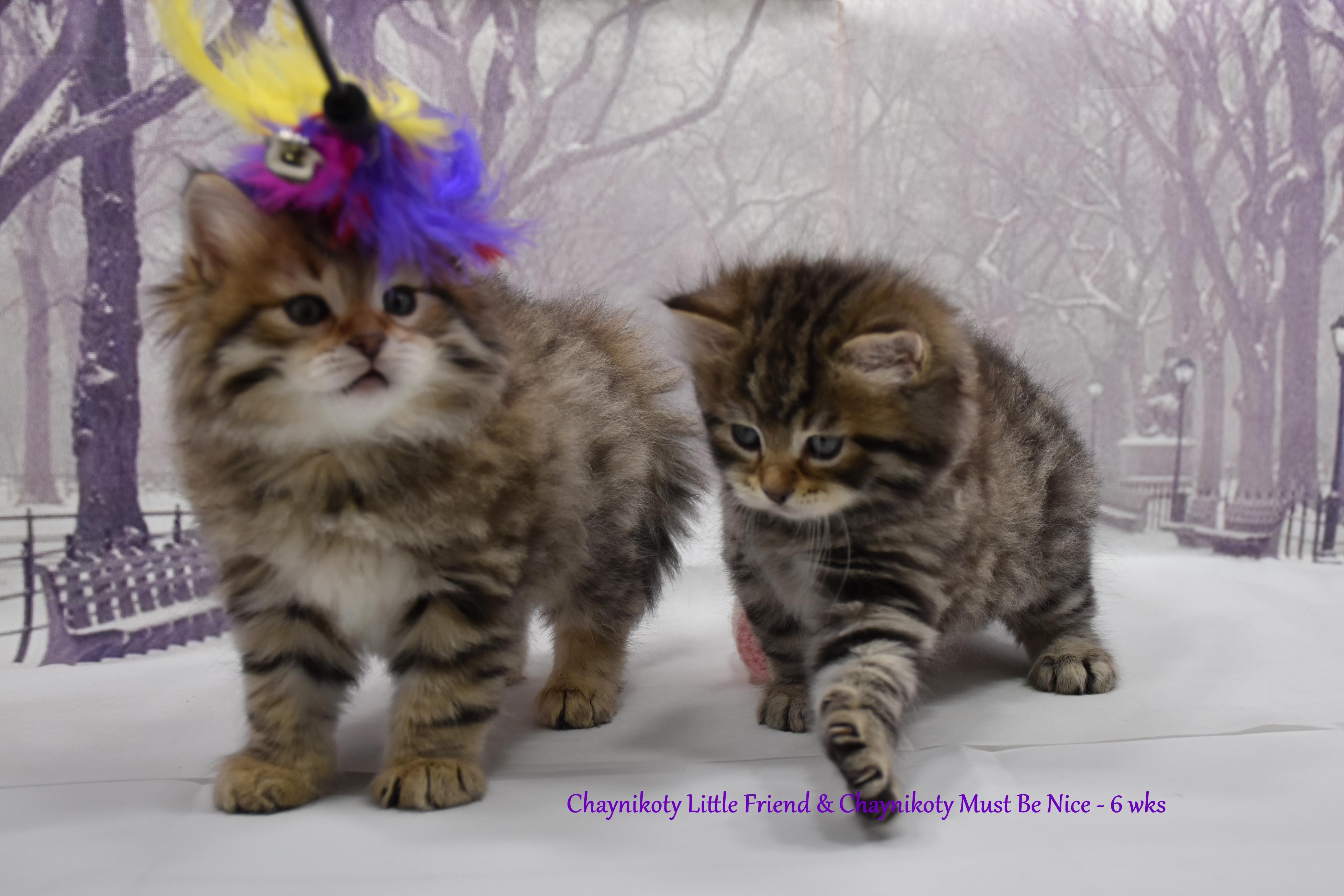 Chaynikoty Little Friend & Chaynikoty Mu