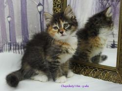 Chaynikoty I Am - 9wks