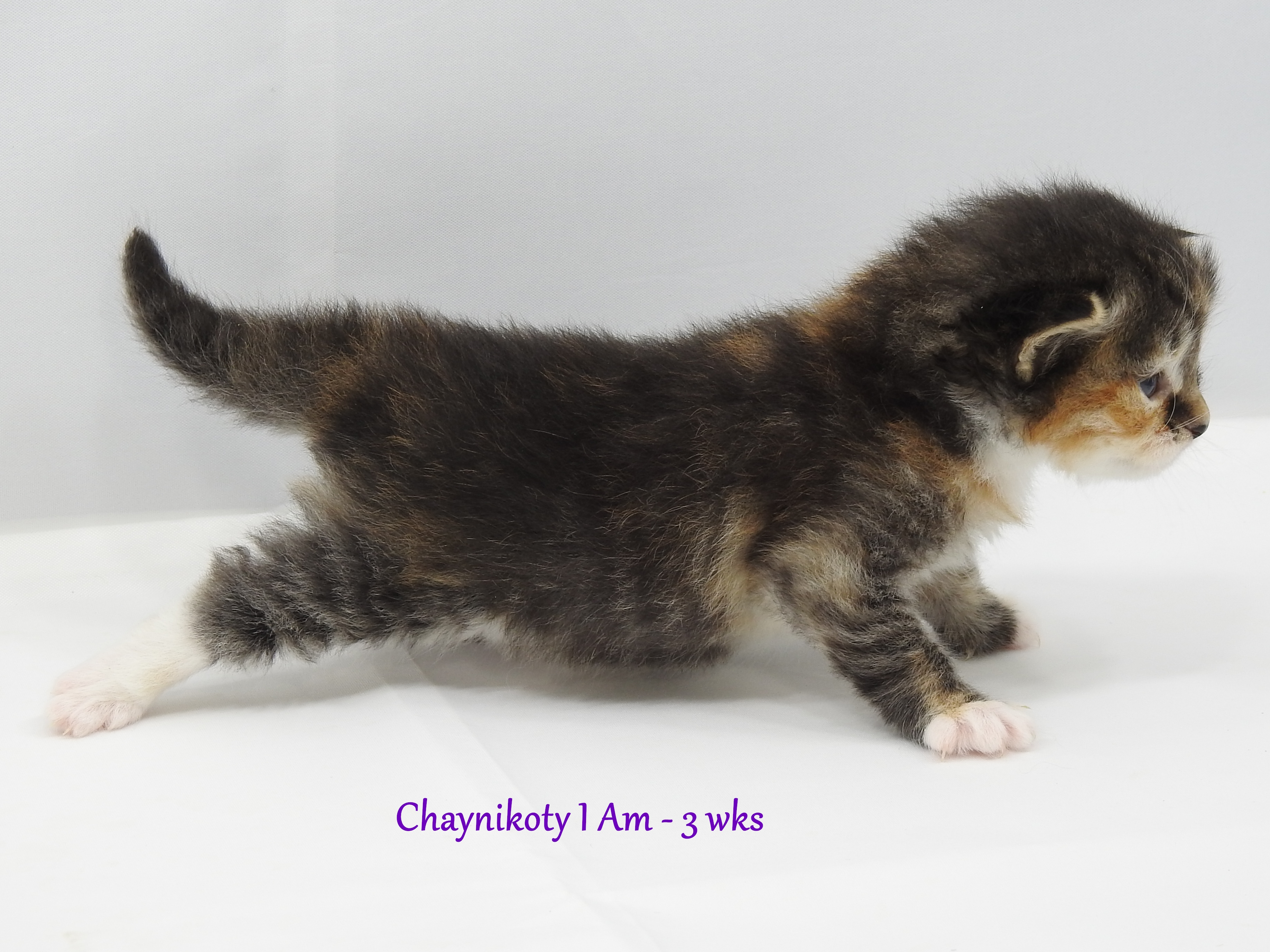 Chaynikoty I Am - 3 wks