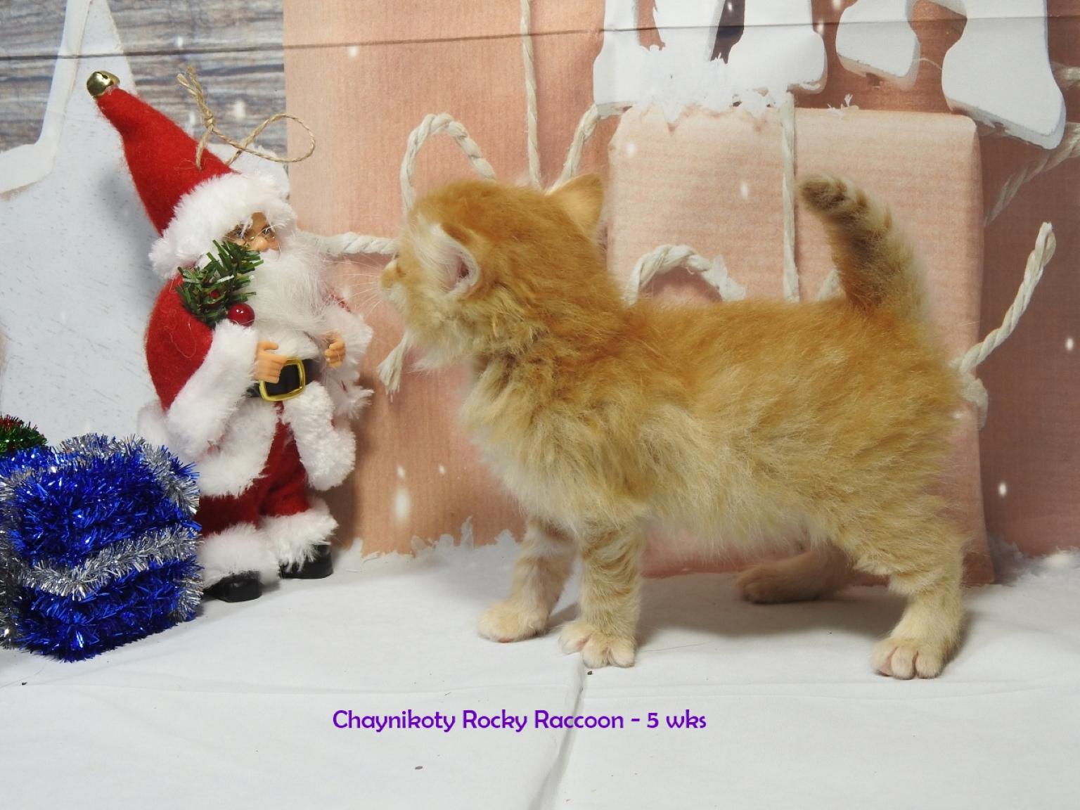Chaynikoty Rocky Raccoon