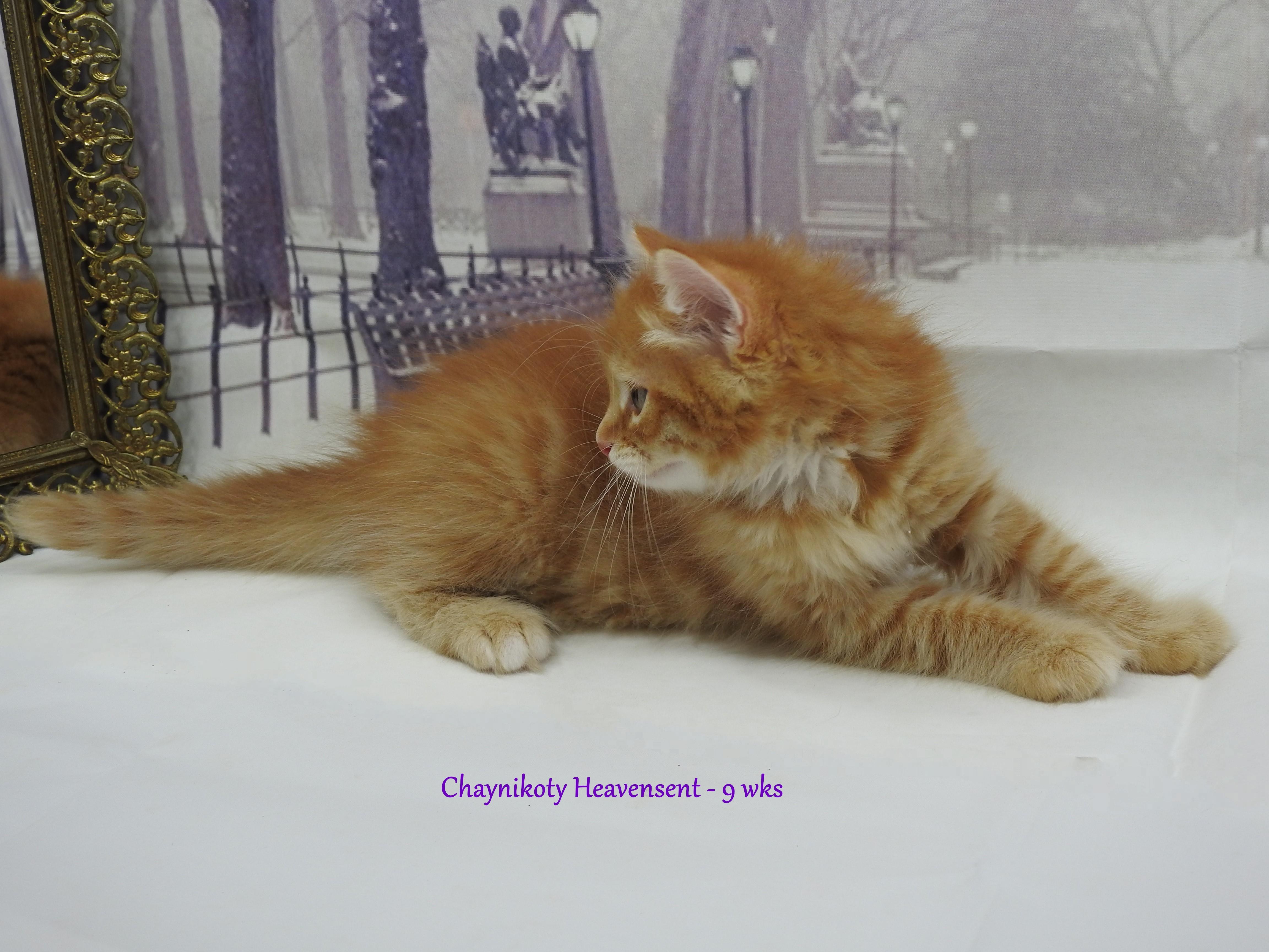 Chaynikoty Heavensent - 9wks