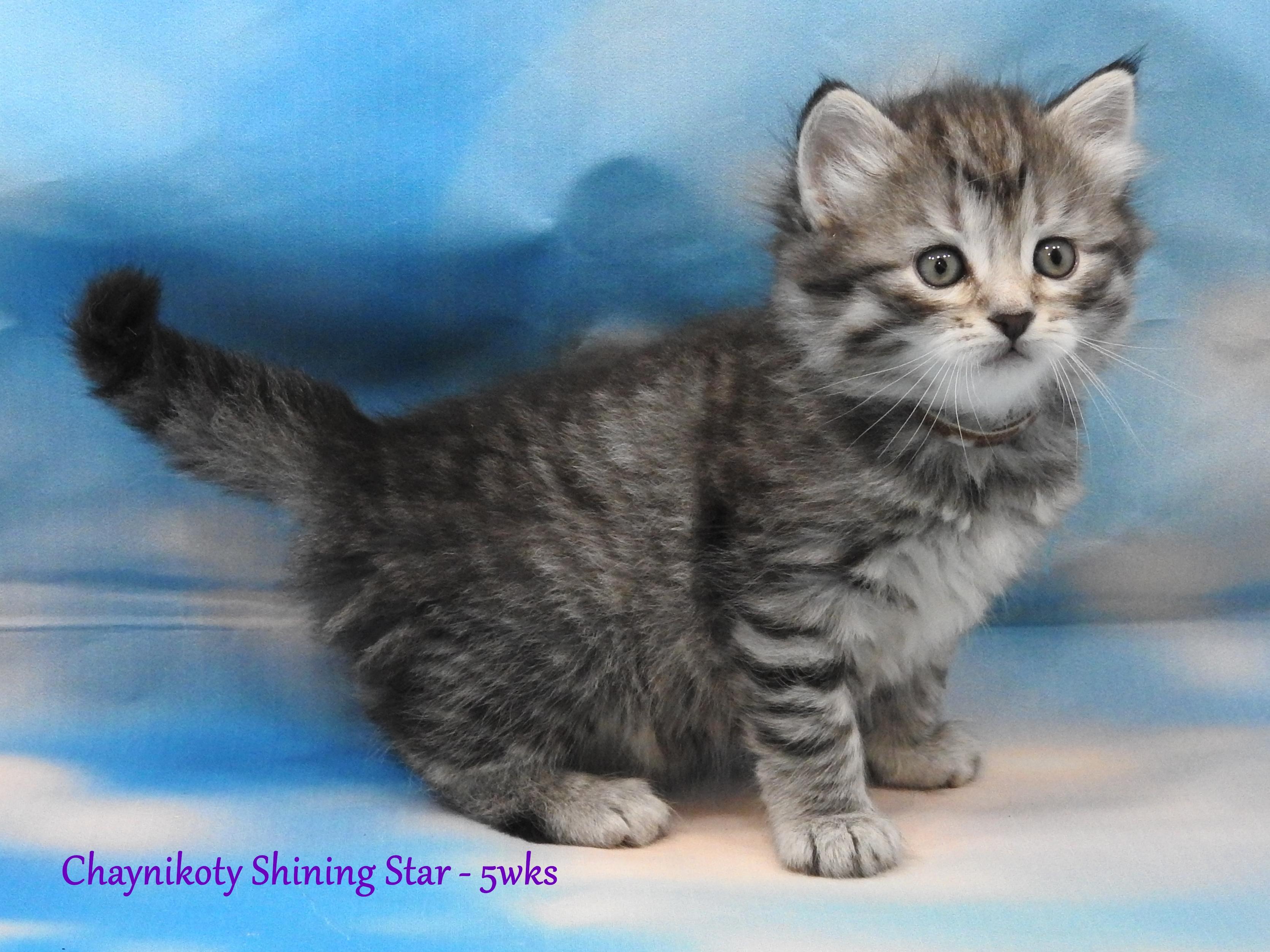 Chaynikoty Shining Star