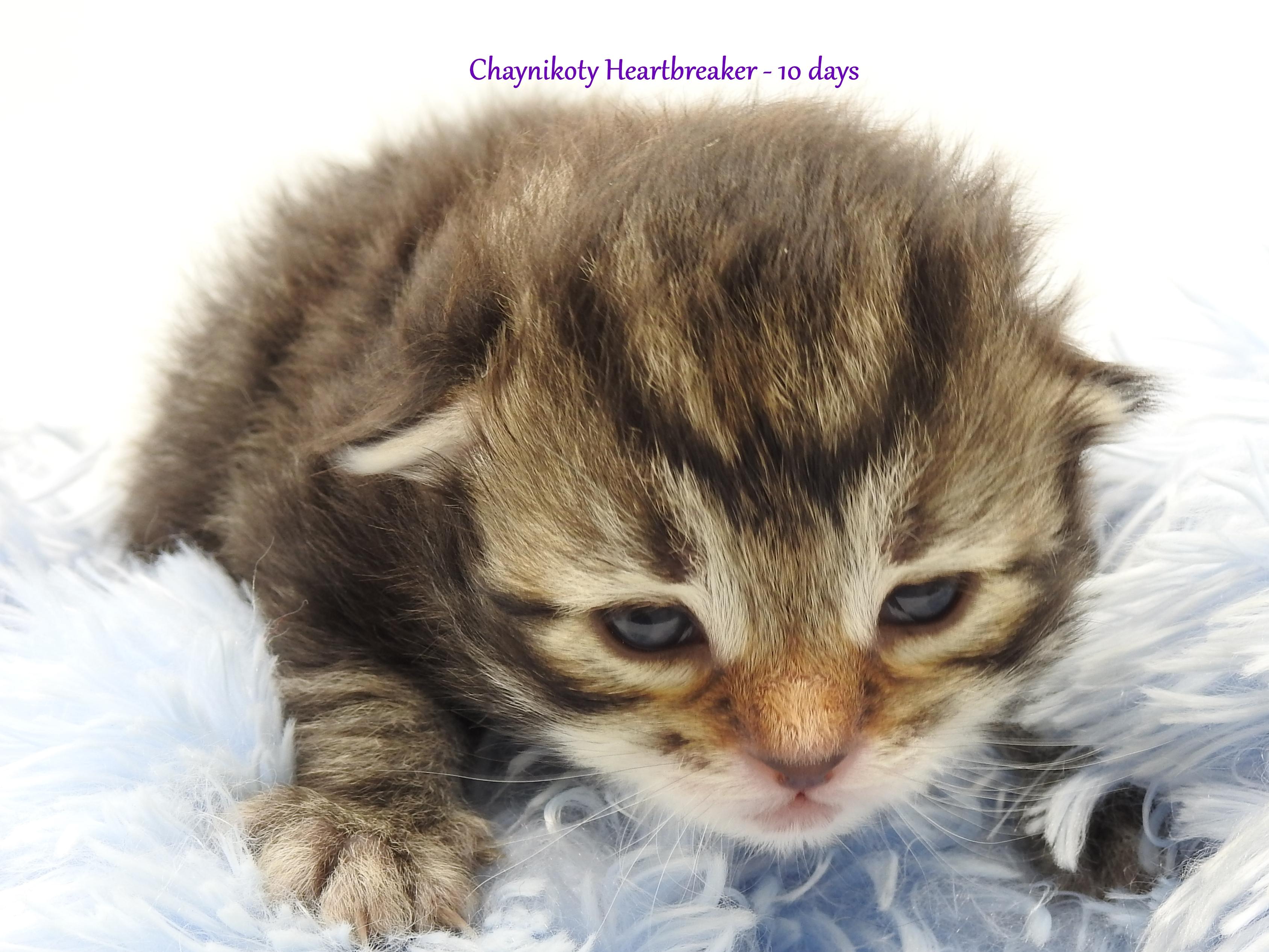 Chaynikoty Heartbreaker